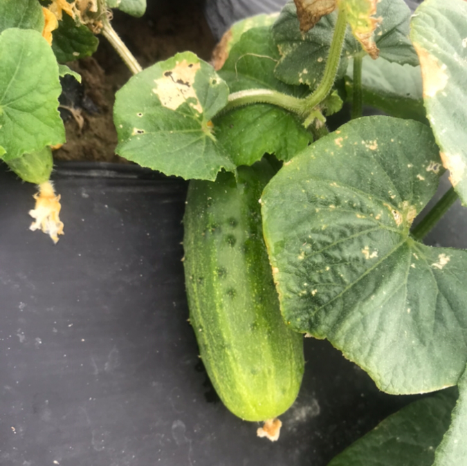 2/$1 small cucumbers