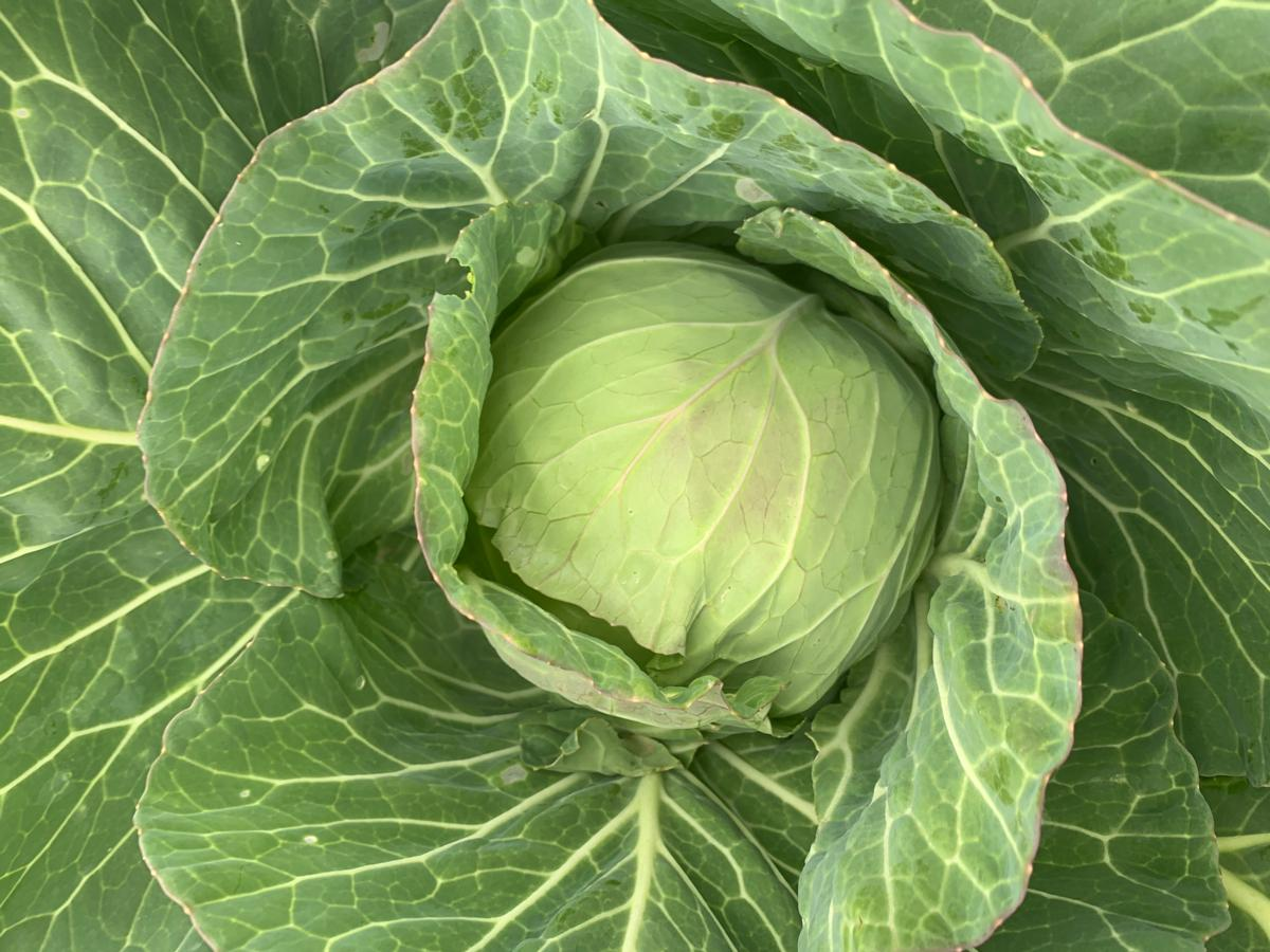 Cabbage (1 head)